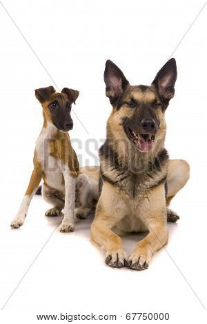 East European sheep-dog with fox-terrier on white