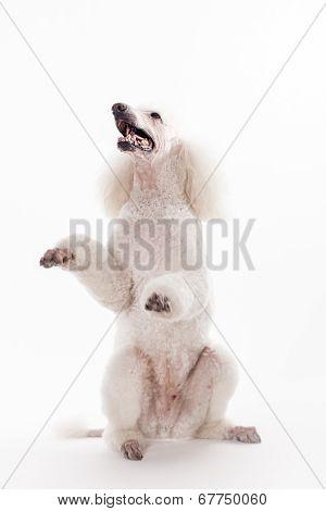 White Royal poodle on white