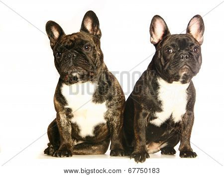Two dark french bulldogs