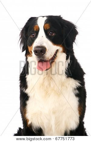 Bernese mountain dog on white