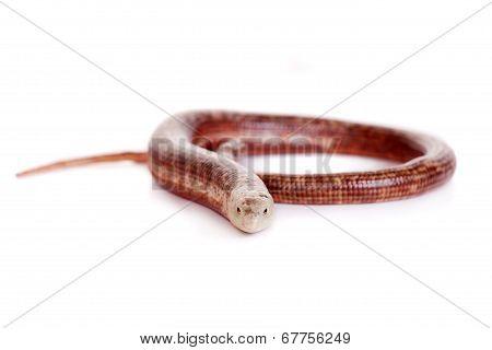 Sheltopusik or European Legless Lizard on white