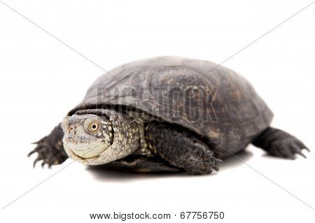European pond terrapin on white