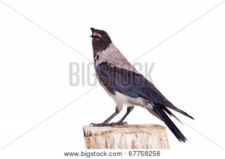 Hooded crow on white background