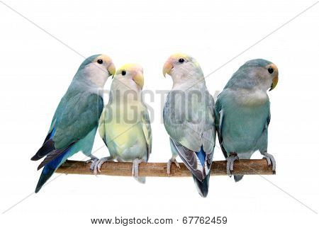 Four Peach-faced Lovebirds on white