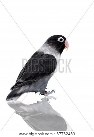 Black masked lovebird on white