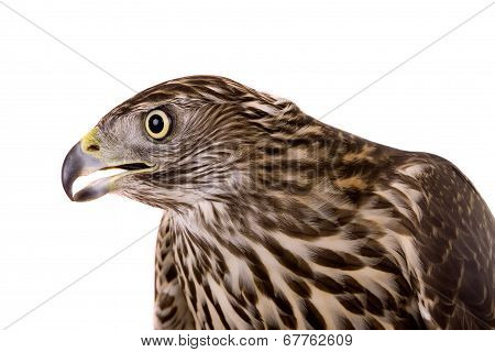 Northern Goshawk isolated on white