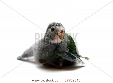 Red-fronted Kakariki parakeet baby on white