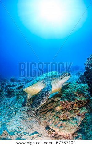 Green Turtle on a bare coral reef