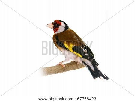 European goldfinch on white