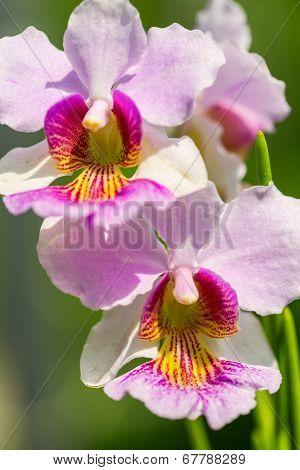 Pink Vanda Miss Joaquim Orchid , National Flower Of Singapore, Close Up