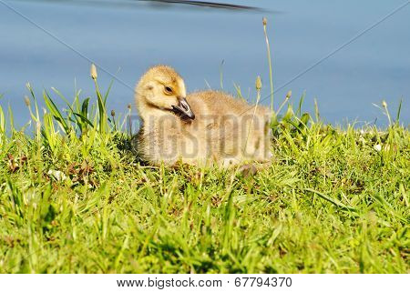 Canadian Gosling Laying In The Warm Spring Sun