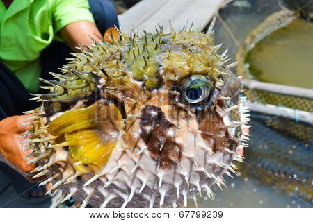 Puffer Fish On Male Hand