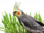 stock photo of cockatiel  - Grey Curious Cockatiel Isolated with green grass of a white background - JPG