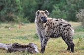 picture of hyenas  - Spotted Hyena standing next to a large bone