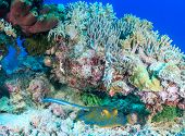 pic of stingray  - Blue Spotted Stingray sheltering under a lump of coral on a tropical reef - JPG