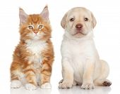 pic of coon dog  - Maine Coon kitten and Labrador puppy on white background - JPG