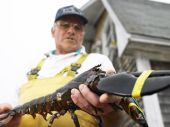 foto of elastrator  - Man holding lobster with bound claws - JPG