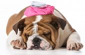 image of flu shot  - english bulldog puppy with pink water bottle on head on white background - JPG