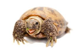 foto of russian tortoise  - Russian or Central Asian tortoise - JPG