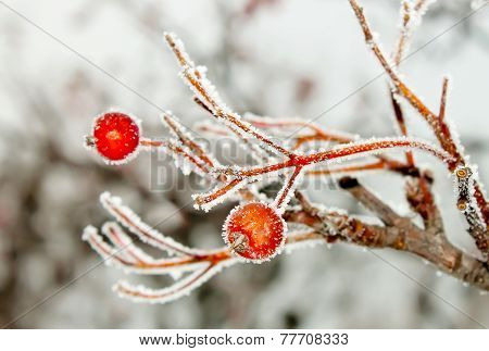 Rowan Berries Covered With Hoarfrost