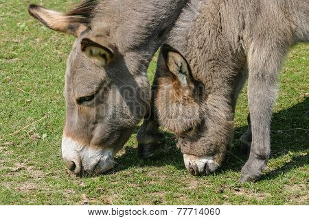 Donkey Foal And Mother Grazing In A Field