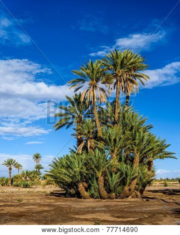 Palm Tree In The Palmeraie Of Skoura, Morocco