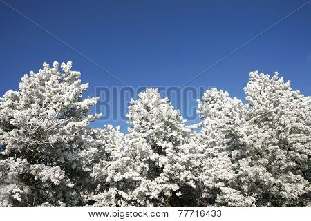 Beautiful Pine Trees  In Winter Forest Frosty Winter Day