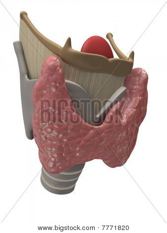 thyroid and larynx