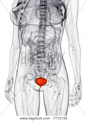 highlighted bladder