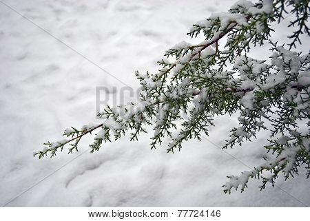 Snow On The Branch Of Fir-tree
