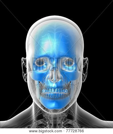 3D Medical Illustration Of The Human  Skull