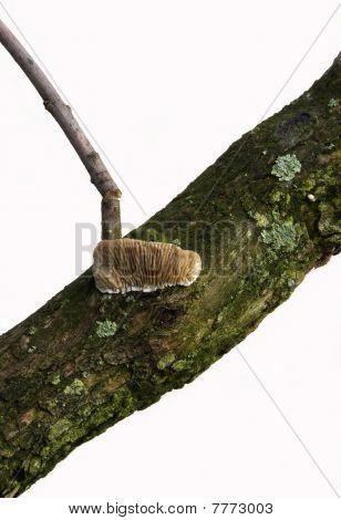 Gilled Polypore Mushroom