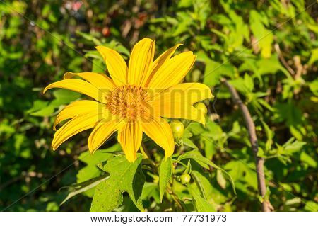 Tree Marigold, Mexican Tournesol, Mexican Sunflower .