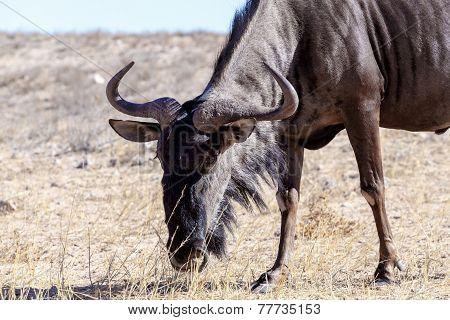 A Wild Wildebeest Gnu Grazing Grassland