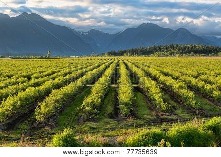 Blue Berry Field With Mountain In Background