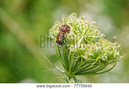 Minstrel Bugs (graphosoma Lineatum)