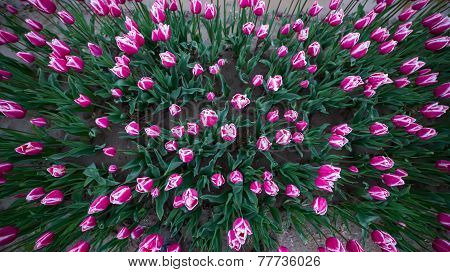 Pink And White Tulips In A Field