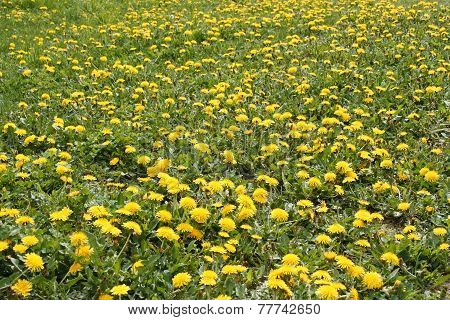 Lots Of Flowering Dandelions Plants