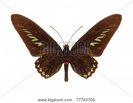 Butterfly Rajah Brookes Birdwing.trogonoptera Brookiana.isolated.