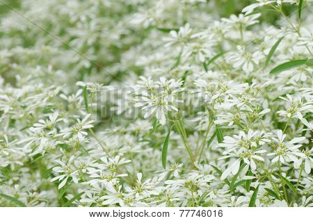 White Flowers Background - Euphorbia Leucocephala Lotsy