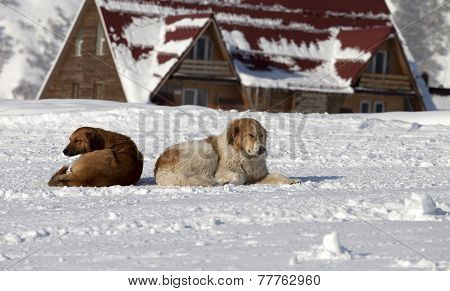 Two Dogs Rest On Snow In Ski Resort