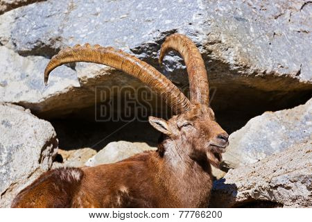 Alpine ibex - zoo in Innsbruck Austria - animal background