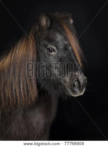 Black Shetland Pony