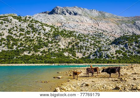 Cattle beside Cuber Reservoir in Mallorca