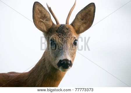 Close up photo of roe deer