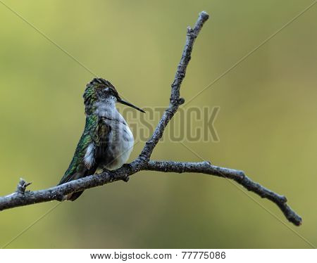 Ruby-Throated Hummingbird - 6