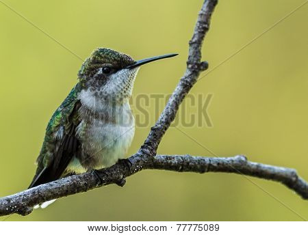 Ruby-Throated Hummingbird - 5