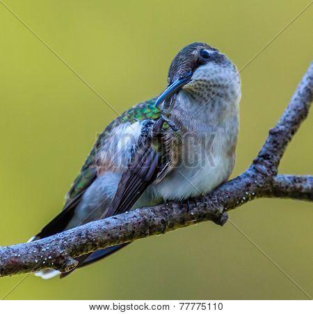 Ruby-Throated Hummingbird - 3