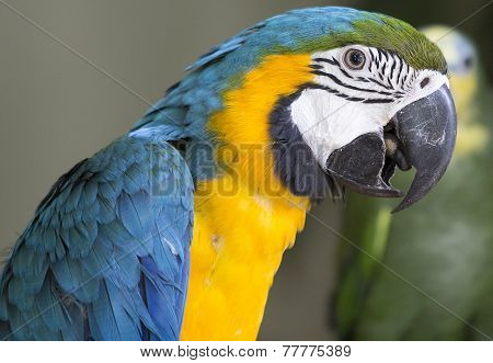 Blue & Yellow McCaw Parrot