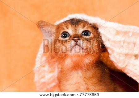 Cute Abyssinian Kitten Portrait